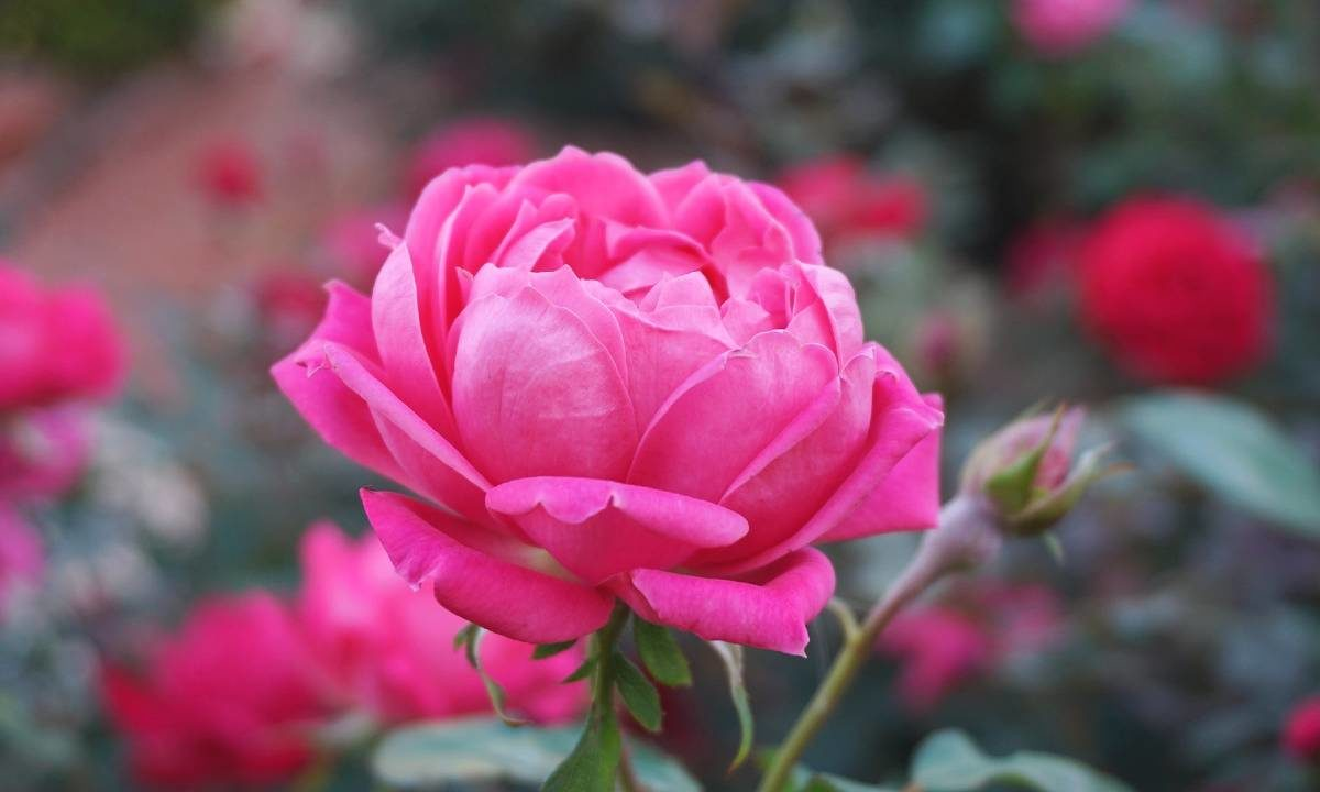 Frasi Rose inglese